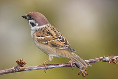 Beautiful sparrow on branch Royalty Free Stock Images