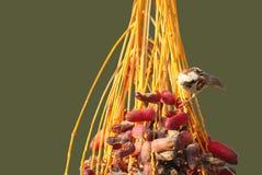 Beautiful sparrow feeding on dates fruit Stock Image