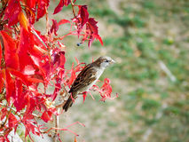 Beautiful sparrow Royalty Free Stock Photography