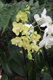 Yellow and White Orchids Flowers Royalty Free Stock Photo
