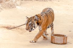 Beautiful specimen of bengal tiger Royalty Free Stock Images