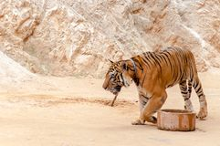 Beautiful specimen of bengal tiger Stock Photos