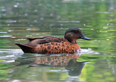 Beautiful specimen of a duck Royalty Free Stock Photo