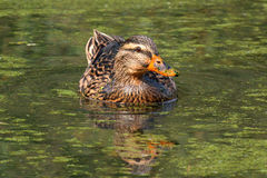 Beautiful specimen of a duck Royalty Free Stock Photos