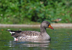 Beautiful specimen of a duck Stock Photography