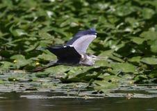 Beautiful specimen of gray heron Royalty Free Stock Photos