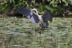 Beautiful specimen of gray heron Stock Photography