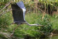 Beautiful specimen of gray heron Stock Photo