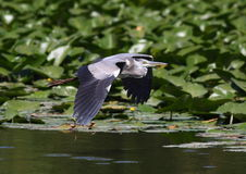 Beautiful specimen of gray heron Royalty Free Stock Photo