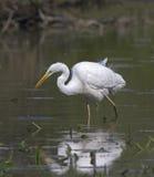 Beautiful specimen of Great White Egret Stock Photos