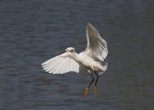 Beautiful specimen of Great White Egret Royalty Free Stock Image