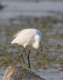 Beautiful specimen of Great White Egret Royalty Free Stock Photo