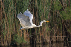 Beautiful specimen of Great White Egret Royalty Free Stock Images
