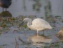 Beautiful specimen of Great White Egret Stock Image