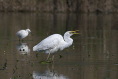 Beautiful specimen of Great White Egret Royalty Free Stock Photos