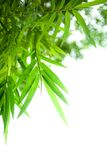 Beautiful specimen of Japanese bamboo Royalty Free Stock Images