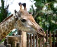 Beautiful specimen of a mature giraffe Stock Images