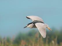 Beautiful specimen of Night Heron Royalty Free Stock Images