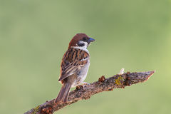 Beautiful specimen of sparrow Royalty Free Stock Photography