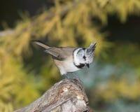Beautiful specimen of sparrow Stock Photos