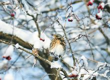 Beautiful speckled thrush bird sitting on a branch with juicy be. Rries of mountain ash in the garden Royalty Free Stock Images