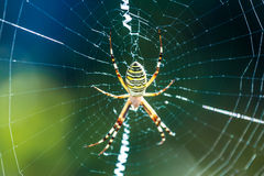 The beautiful spider braids the web. The big beautiful spider braids the web stock images