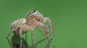 Beautiful Spider on glass green, Jumping Spider in Thailand Stock Photography
