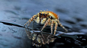 Beautiful Spider on glass, Jumping Spider in Thailand Stock Photo