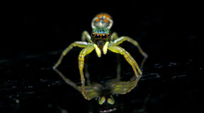 Beautiful Spider on glass, Jumping Spider in Thailand Stock Photography