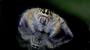 Beautiful Spider on glass, Jumping Spider in Thailand Royalty Free Stock Photo
