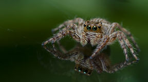 Beautiful Spider on glass, Jumping Spider in Thailand Royalty Free Stock Photography