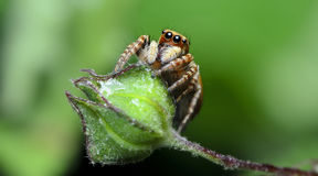 Beautiful Spider on green flower, Jumping Spider in Thailand Royalty Free Stock Photos
