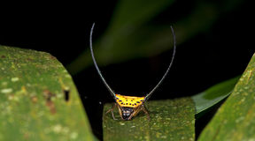 Beautiful Spider green leaf, Jumping Spider in Thailand. Macracantha arcuata Stock Images