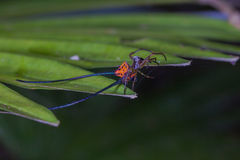 Beautiful Spider Long Horn On The Leaf Royalty Free Stock Photo