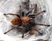 Beautiful spider-tarantula in its lair. royalty free stock photo