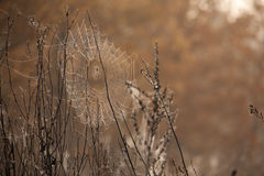Beautiful spider web with water drops close-up. Web of a spider against sunrise in the field covered fogs royalty free stock images
