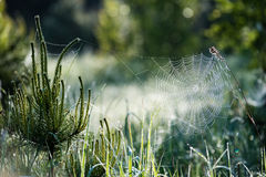 Beautiful spiderweb with dew drops Royalty Free Stock Image