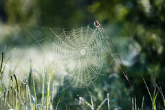 Beautiful spiderweb with dew drops Stock Image