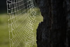 Beautiful spiderweb with dew drops Royalty Free Stock Images