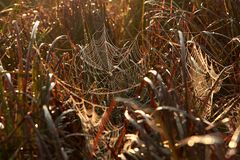 Spiderweb in the dew in the thickets of grass at dawn in the fall