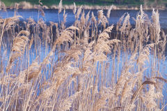 Beautiful spikelets of dry reed Royalty Free Stock Photos