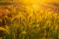 Beautiful spikelets in the field at sunset Wallpaper royalty free stock photography