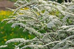 Beautiful Spiraea (Meadowsweet) Shrub with Flowers. A beautiful sunlit spiraea (meadowsweet) shrub with white flowers in spring Royalty Free Stock Photo