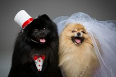 Spitz dog wedding couple. Beautiful spitz wedding couple over grey background. dog bride in skirt and veil, groom in suit and silk hat. happy newlyweds. copy Royalty Free Stock Photography