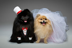 Spitz dog wedding couple. Beautiful spitz wedding couple over grey background. dog bride in skirt and veil, groom in suit and silk hat. happy newlyweds. copy Royalty Free Stock Images