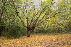 Beautiful splayed autumn tree in the forest Stock Image