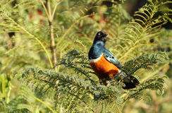 A beautiful splendid looking Superb Starling Stock Images