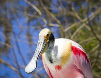 Beautiful Spoonbill Royalty Free Stock Photography