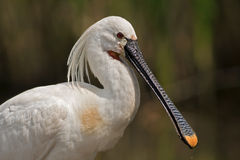 Beautiful Spoonbill portrait Royalty Free Stock Images