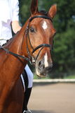 Beautiful sport horse portrait during dressage test Stock Photography